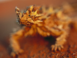 Thorny Devil (Moloch Horridus) Portrait, Australia Photographic Print by Theo Allofs/Minden Pictures