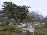 Southern Beech (Nothofagus Sp.) Near Mount Fitzroy, Argentina Photographic Print by Theo Allofs/Minden Pictures