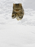 Domestic Cat (Felis Catus) Male Jumping in Snow, Germany Fotografiskt tryck av Konrad Wothe