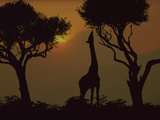 Masai Giraffe (Giraffa Camelopardalis Tippelskirchi) Stretching to Feed on Acacia Leaves, Africa Photographic Print by Tim Fitzharris/Minden Pictures