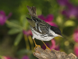 Blackpoll Warbler (Dendroica Striata) Male, Portrait, Rio Grande Valley, Texas Photographic Print by Tom Vezo/Minden Pictures