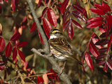 White-Throated Sparrow (Zonotrichia Albicollis) Perching in Bush, Long Island, New York Fotografie-Druck von Tom Vezo/Minden Pictures