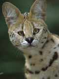 Serval (Felis Serval) Portrait, Native to Africa Photographic Print by Theo Allofs/Minden Pictures