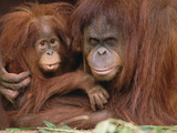 Orangutan (Pongo Pygmaeus) Mother and Baby, Endangered, Melbourne Zoo, Australia Photographic Print by Gerry Ellis