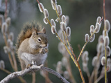 Red Squirrel (Tamiasciurus Hudsonicus) Feeding on Spring Pussy Willow, Alaska Photographic Print by Michael S. Quinton