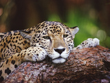 Jaguar (Panthera Onca), Belize Zoo, Belize Photographic Print by Gerry Ellis