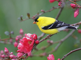 American Goldfinch (Carduelis Tristis) Male in Breeding Plumage, Nova Scotia, Canada Photographic Print by Scott Leslie/Minden Pictures