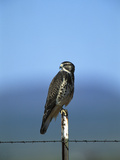Swainson's Hawk (Buteo Swainsoni) Perched on Fencepost, Sulphur Springs Valley, Arizona Photographic Print by Tom Vezo/Minden Pictures
