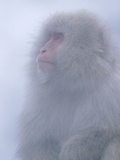 Japanese Macaque (Macaca Fuscata) Portrait, Joshinetsu Plateau Nat'l Park, Japan Photographic Print by Ingo Arndt/Minden Pictures