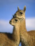 Guanaco (Lama Guanicoe) Two Juveniles, Torres Del Paine Nat'l Park, Chile Photographic Print by Ingo Arndt/Minden Pictures