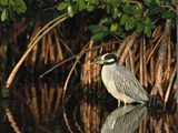 Yellow-Crowned Night Heron (Nyctanassa Violacea) Wading Among Mangrove Roots, Florida Fotografie-Druck von Tom Vezo/Minden Pictures