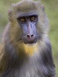 Mandrill (Mandrillus Sphinx) Juvenile Male Portrait, Native to Africa Photographic Print by Ingo Arndt/Minden Pictures