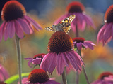 American Painted Lady (Cynthia Virginiensis) Butterfly on Coneflower (Echinacea Sp.), New Mexico Photographic Print by Tim Fitzharris/Minden Pictures