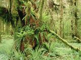 Epiphytes on Bigleaf Maple (Acer Macrophyllum), Pacific Coast, North America Photographic Print by Gerry Ellis