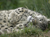 Snow Leopard (Uncia Uncia) Pair Playing Together, Endangered, Native to Asia and Russia Photographic Print by Cyril Ruoso