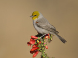 Verdin (Auriparus Flaviceps) Male, Santa Rita Mountains, Arizona Fotografie-Druck von Tom Vezo/Minden Pictures