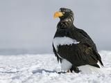 Steller's Sea Eagle (Haliaeetus Pelagicus) Portrait, Kamchatka, Russia Photographic Print by Sergey Gorshkov/Minden Pictures