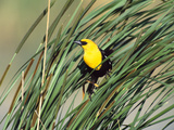 Yellow-Headed Blackbird (Xanthocephalus Xanthocephalus) Perched on Grasses, Winnipeg, Canada Photographic Print by Tom Vezo/Minden Pictures