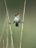 Saltmarsh Sharp-Tailed Sparrow (Ammodramus Caudacutus) Perched on Reeds, Long Island, New York Photographic Print by Tom Vezo/Minden Pictures
