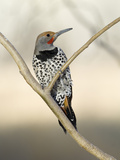 Gilded Flicker (Colaptes Chrysoides) Male, San Pedro Riparian Nat'l Conservation Area, Arizona Photographic Print by Scott Leslie/Minden Pictures