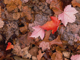 Autumn Leaves on Forest Floor, Shenandoah National Park, Virginia Photographic Print by Gerry Ellis