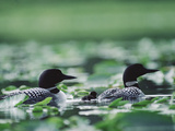 Common Loon (Gavia Immer) Mated Couple Swimming Among Water Plants, Wyoming Photographic Print by Michael S. Quinton