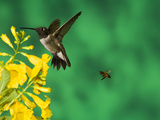 Black-Chinned Hummingbird (Archilochus Alexandri) Male with a Bee, Green Valley, Arizona Photographic Print by Tom Vezo/Minden Pictures