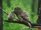 Great Gray Owl (Strix Nebulosa) Adult with Chick, Saskatchewan, Canada Fotografie-Druck von Tom Vezo/Minden Pictures