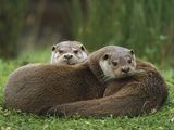 European River Otter (Lutra Lutra) Sisters Resting, Europe Photographic Print by Ingo Arndt/Minden Pictures