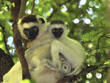 Verreaux's Sifaka (Propithecus Verreauxi) Mother with Infant, Berenty Private Reserve, Madagascar Photographic Print by Thomas Marent/Minden Pictures