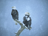 Bald Eagles (Haliaeetus Leucocephalus) Perched on Snag in Snow, Kenai Peninsula, Alaska Photographic Print by Tom Vezo/Minden Pictures