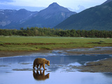 Grizzly Bear (Ursus Arctos Horribilis) Crossing River, Katmai Nat'l Park, Alaska Photographic Print by Suzi Eszterhas/Minden Pictures