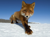 Red Fox (Vulpes Vulpes) on Snow, Kamchatka, Russia Photographic Print by Sergey Gorshkov/Minden Pictures