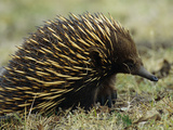 Short-Beaked Echidna or Spiny Anteater (Tachyglossus Aculeatus) Photographic Print by Cyril Ruoso