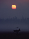Elk or Wapiti (Cervus Elaphus) Silhouetted on Smoky Horizon, Yellowstone, Wyoming Photographic Print by Michael S. Quinton