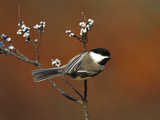 Black-Capped Chickadee (Parus Atricapillus) in Bayberry Bush, Long Island, New York Fotografie-Druck von Tom Vezo/Minden Pictures