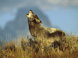 Timber Wolf (Canis Lupus) Adult Howling, Teton Valley, Idaho Photographic Print by Tom Vezo/Minden Pictures
