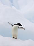 Adelie Penguin (Pygoscelis Adeliae) Flapping Flippers on Iceberg, Paulet Island, Antarctica Photographic Print by Suzi Eszterhas/Minden Pictures
