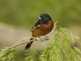 Orchard Oriole (Icterus Spurius) Male, Rio Grande Valley, Texas Photographic Print by Tom Vezo/Minden Pictures