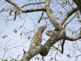 Great Potoo (Nyctibius Grandis) Camouflaged on Branch, Pantanal, Brazil Photographic Print by Suzi Eszterhas/Minden Pictures