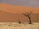 Camelthorn Acacia (Acacia Erioloba) Trees, Sossus Vlei, Namib-Naukluft Nat'l Park, Namibia Photographic Print by Michael and Patricia Fogden/Minden Pictures