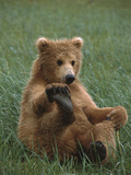 Grizzly Bear (Ursus Arctos Horribilis) Cub Playing, Katmai Nat'l Park, Alaska Photographic Print by Suzi Eszterhas/Minden Pictures
