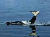 Orca (Orcinus Orca) Tail Slapping, Prince William Sound, Alaska Photographic Print by Suzi Eszterhas/Minden Pictures