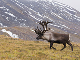Caribou (Rangifer Tarandus) Male, Kamchatka, Russia Photographic Print by Sergey Gorshkov/Minden Pictures