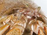 Hermit Crab (AnapagurusLaevis) in Common Northern Whelk (BuccinumUndatum) Shell, Helgoland, Germany Photographic Print by Ingo Arndt/Minden Pictures