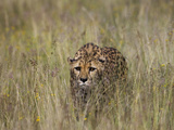 Cheetah (Acinonyx Jubatus) in Long Grass, Cheetah Conservation Fund, Otijwarongo, Namibia Photographic Print by Suzi Eszterhas/Minden Pictures