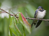 Barn Swallow (Hirundo Rustica) Fledgling on the Morning it Left the Nest Photographic Print by Cyril Ruoso
