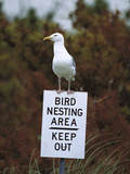 Herring Gull (Larus Argentatus) Adult Perched on 'Keep Out' Sign, Long Island, New York Fotografie-Druck von Tom Vezo/Minden Pictures