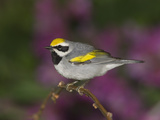 Golden-Winged Warbler (Vermivora Chrysoptera) Male Perched on Branch, Rio Grande Valley, Texas Photographic Print by Tom Vezo/Minden Pictures