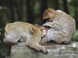 Barbary Macaque (Macaca Sylvanus) Pair Grooming, Native to Algeria and Morocco Photographic Print by Ingo Arndt/Minden Pictures